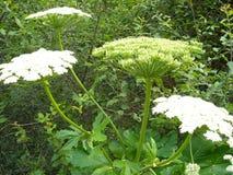 Farligt och stark-att lukta den giftiga växten Sommarskogvegetation royaltyfri foto