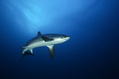 Farligt stort hajRöda havet Royaltyfri Fotografi