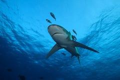 Farligt stort hajRöda havet Royaltyfri Foto