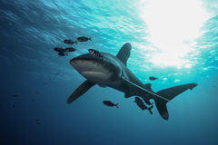 Farligt stort hajRöda havet Royaltyfria Foton
