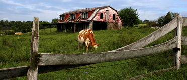 Farm. Beautiful farm with cow, green grass and wood fence Stock Photo