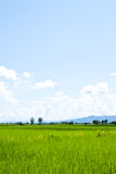 Farm. Green rice farm in ruralside,clear nature Royalty Free Stock Image