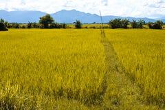 Farm. Shiny rice farm in ruralside,clear nature stock photos