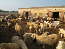 Farm. Lots of Goat and sheeps in a farm Royalty Free Stock Photography