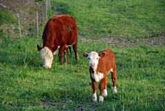 On the Farm. Baby Calf and Mama Cow Royalty Free Stock Photography