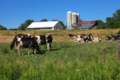 Farm. The view of the few black and white cows on the barn, green grass and blue sky background Royalty Free Stock Photo