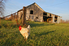 On the farm. A chicken wanders in front of an old barn Royalty Free Stock Photography