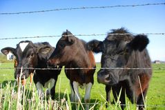On the farm. Cows on a dairy farm Stock Photography