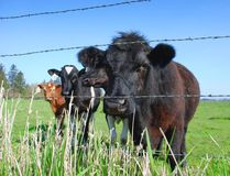 On the farm. Cows on a dairy farm Royalty Free Stock Images