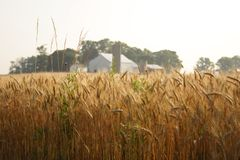 A farm. A wheat field in central Ohio Stock Photography