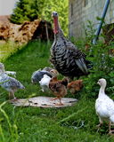 At the farm. Free ranges turkies, mother with youngs at the backyard Stock Photography