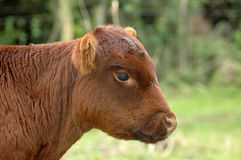 Farm animal Stock Photography
