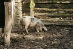 Farm animal Royalty Free Stock Image