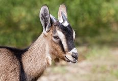 Farm animal - funny goat head. Farm animal - head of a funny young brown goat stock images