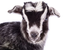Farm animal goat isolated. Newborn goat close-up. farm animal. Isolated on white background stock images