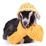 Farm animal goat isolated Stock Images