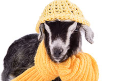 Farm animal goat isolated Royalty Free Stock Photography