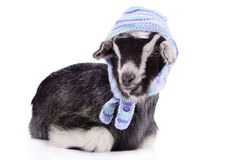 Farm animal goat isolated Royalty Free Stock Photography