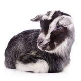 Farm animal goat isolated Stock Image