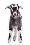 Farm animal goat isolated Stock Photos