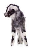 Farm animal goat isolated Stock Photography