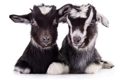 Farm animal goat isolated. Two newborn goat. farm animal. Isolated on white background royalty free stock images