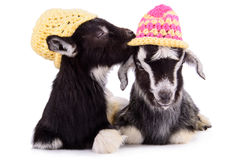 Farm animal goats isolated Stock Image