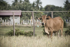 Farm animal on the grass Royalty Free Stock Photography