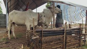 Farm , animal , cow , cambodia  stock footage