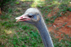 Farm Animal- Ostrich Head Close Up View Royalty Free Stock Photo