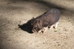 Farm animal piglet young domestic,  livestock. Farm animal piglet young domestic mammal pork,  livestock stock images