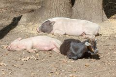 Farm animal piglet young domestic,  pig agriculture. Farm animal piglet young domestic mammal pork,  pig agriculture royalty free stock photos