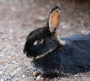 Farm animal - rabbit Stock Photo
