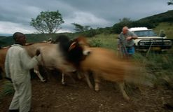 Farm animala and workers in rual South Africa. Farm animals in rural South Africa Royalty Free Stock Images