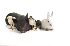 Farm animals. Three chickens a rabbit and apig over white royalty free stock photography