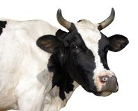 Farm animal - Side view of Holstein cow, 5 years old, standing. stock image