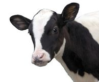 Farm Animals - Calf cow isolated on white background stock photo