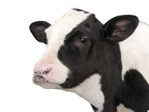Farm Animals - Calf cow isolated on white background royalty free stock photography