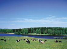Farm Animals - herd of cattle crowd in Pasture royalty free stock image