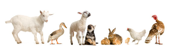 Farm animals. In front of a white background Royalty Free Stock Photography