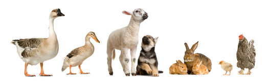 Farm animals. In front of a white background Stock Photography