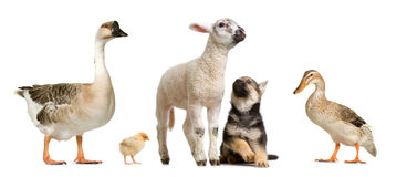 Farm animals. In front of a white background Stock Images