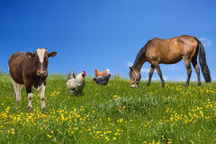 Farm animals. Grazing on the green meadow Stock Photos