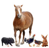 Farm animals. Group of farm animals in front of white background Royalty Free Stock Photos