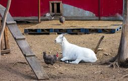 A sheep and some chickens at chena hot springs. Farm animals as seen in a remote area of alaska in the springtime Stock Images