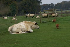 Farm animals of British White Cattle bull, pigs, & sheep Royalty Free Stock Images