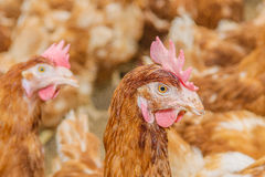 Farm Animals - Brown Layer Royalty Free Stock Photography