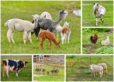 Farm animals collage. Collage of farm animalsbin a pasture - a herd of adult and young cria alpacas, cow, horse, sheep, poultry royalty free stock image
