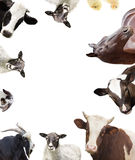 Farm animals. Cow and calf and sheep and goat and horse Stock Photos