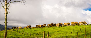 Farm Animals. Cows graze peacefully in a meadow - home time. Milking time Stock Photography